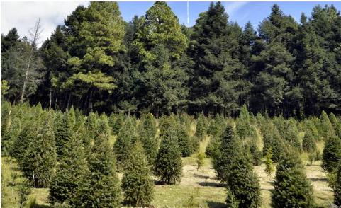 árboles navidad xonacatlán