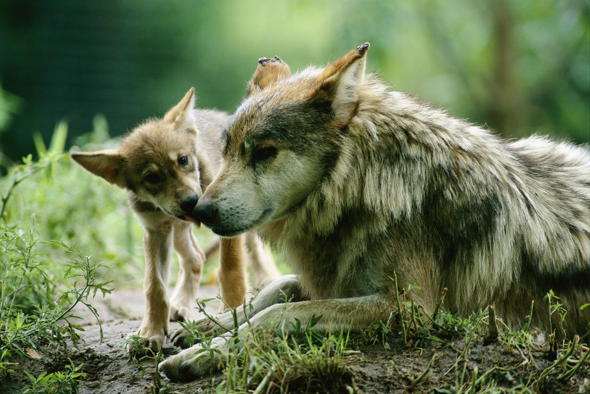 Lobo mexicano deja categoria de exinto