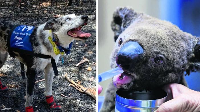 Oso el perro que salva koalas de incendios en Australia