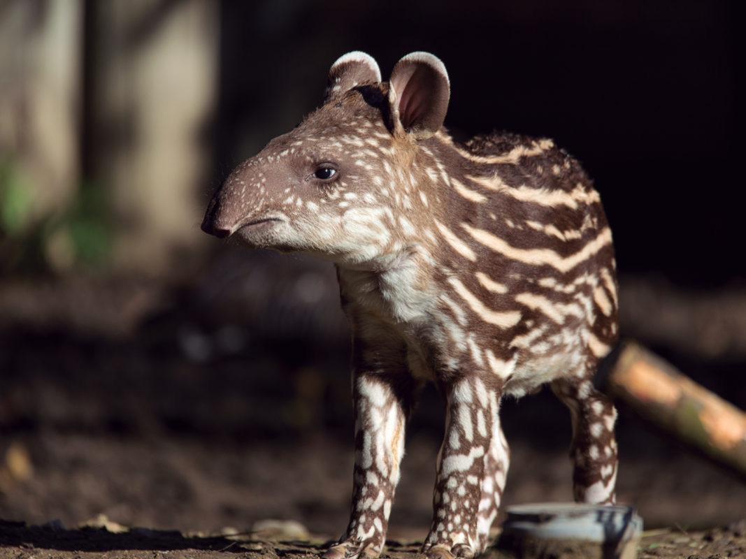 Tapir-en-peligró-de-extinción