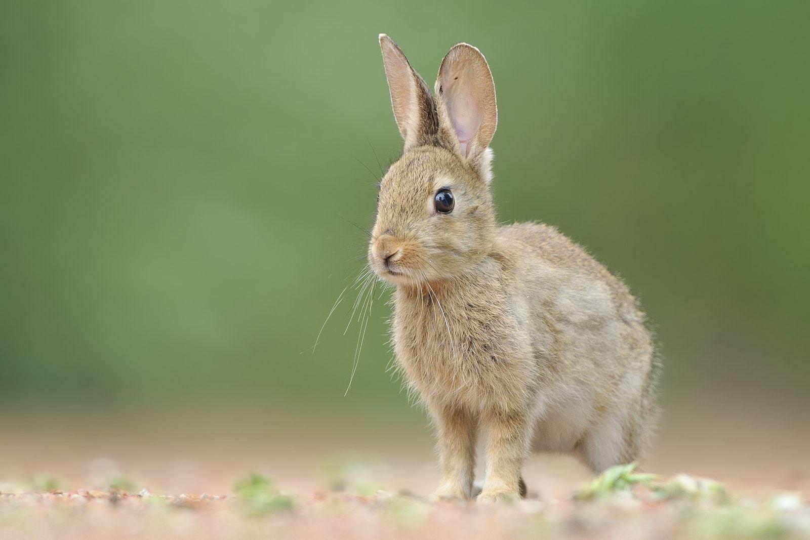 Conejos-en-peligro-por-virus-mortal