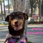 Regala un paseo a un perro adoptable de la ciudad de Toluca