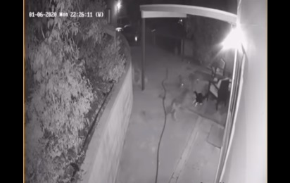 Gato enfrenta a tres coyotes para defender su hogar