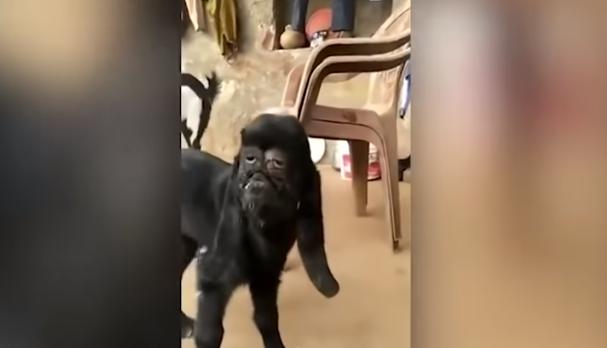 (Video) Viralizan extraña cabra con rostro humano
