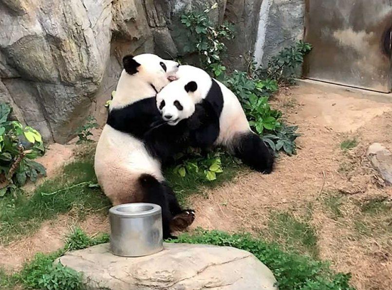 Pandas aprovechan la cuarentena para aparearse