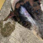 Perrito sufre quemaduras en 90% de su cuerpo por lanzarle agua hirviendo