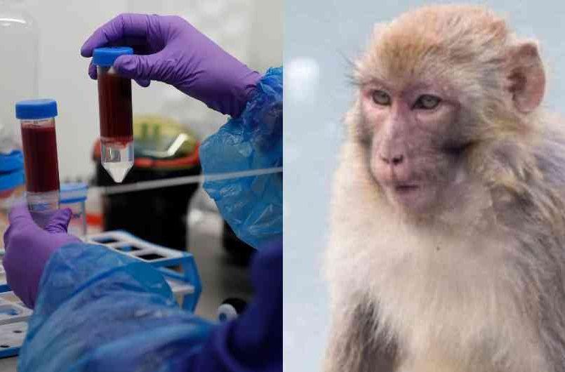 Monos roban muestras positivas de COVID-19 en India; temen más contagios