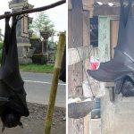 La-verdad-sobre-la-foto-del-Murciélago-Gigante