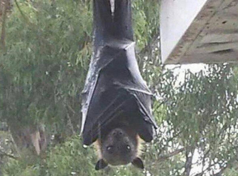 fotografia-de-murcielago-gigante-se-vuelve-viral