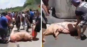 Rapiña de cerdos tras volcadura de tráiler en Campeche