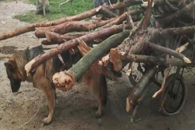 buscan-a-perrito-que-es-obligado-a-trabajar-como-bestia-de-carga-en-edomex