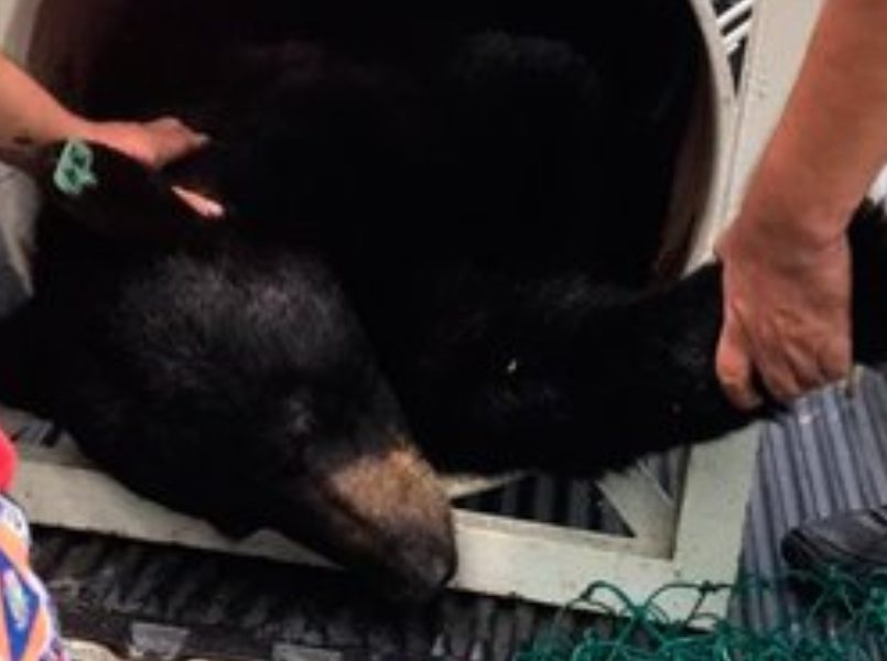 capturan-al-oso-que-se-volvio-viral-mientras-dormia-en-una-casa