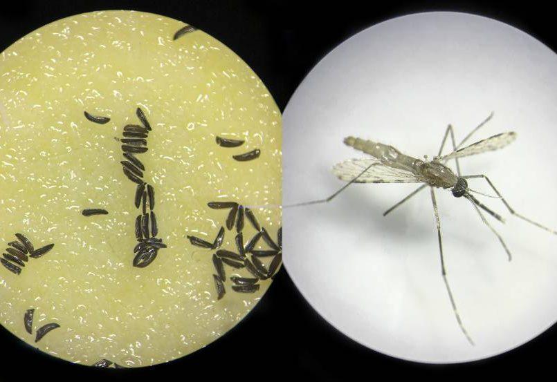 mosquitos-geneticamente-modificados-seran-liberados-en-florida