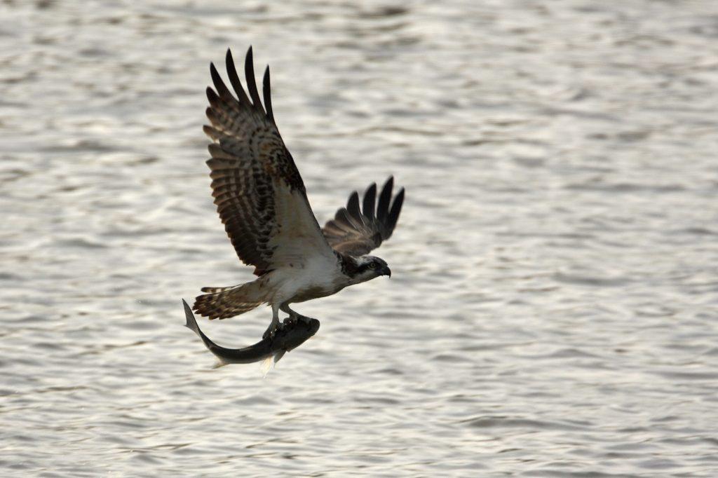 (Video) Águila sorprende a turistas cazando un tiburón en una playa de Florida