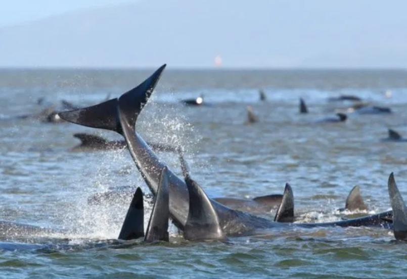 más de 400 ballenas varadas en Australia