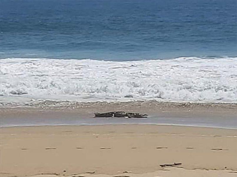 Cocodrilo fue fotografiado en una playa y mar de Acapulco