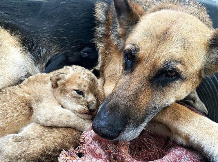 Perrita adopta a cachorros de león