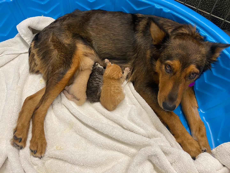 perrita-rescatada-adopta-a-gatitos-tras-perder-a-sus-cachorritos2