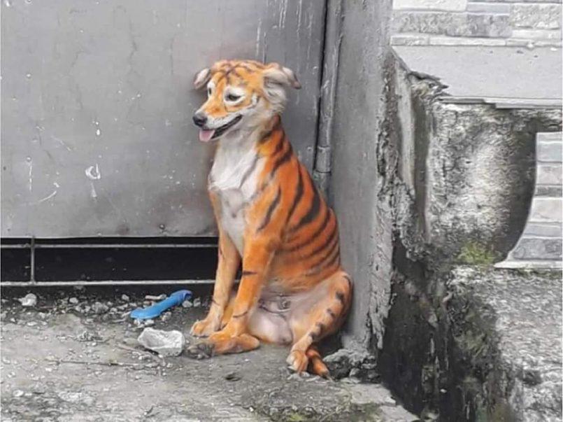 Pintaron rayas negras a un perro para hacerlo parecer un tigre
