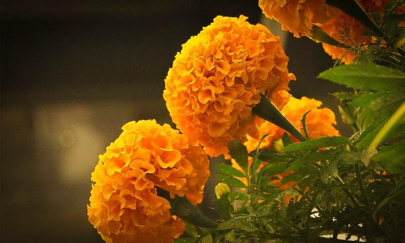 Ni la flore de cepasúchil se salvo del covid