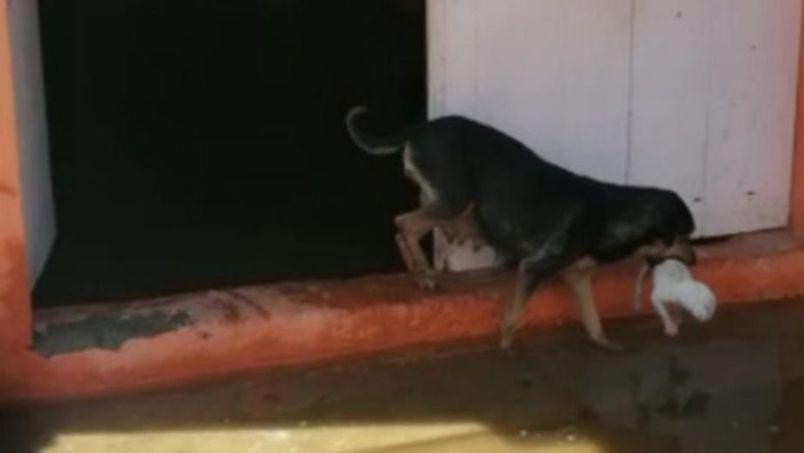 Perrita salva a sus cachorros de ser ahogados en inundaciones tabasqueñas