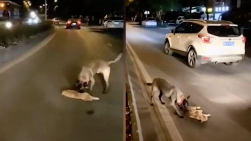 Perro intenta salvar a un gato tras ser atropellado || VIDEO