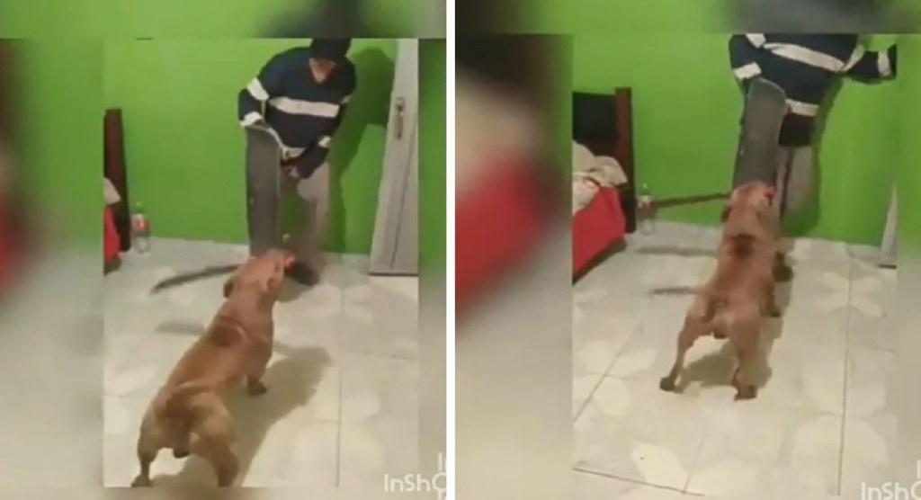 Pitbull utiliza un machete para controlar a su dueño || VIDEO