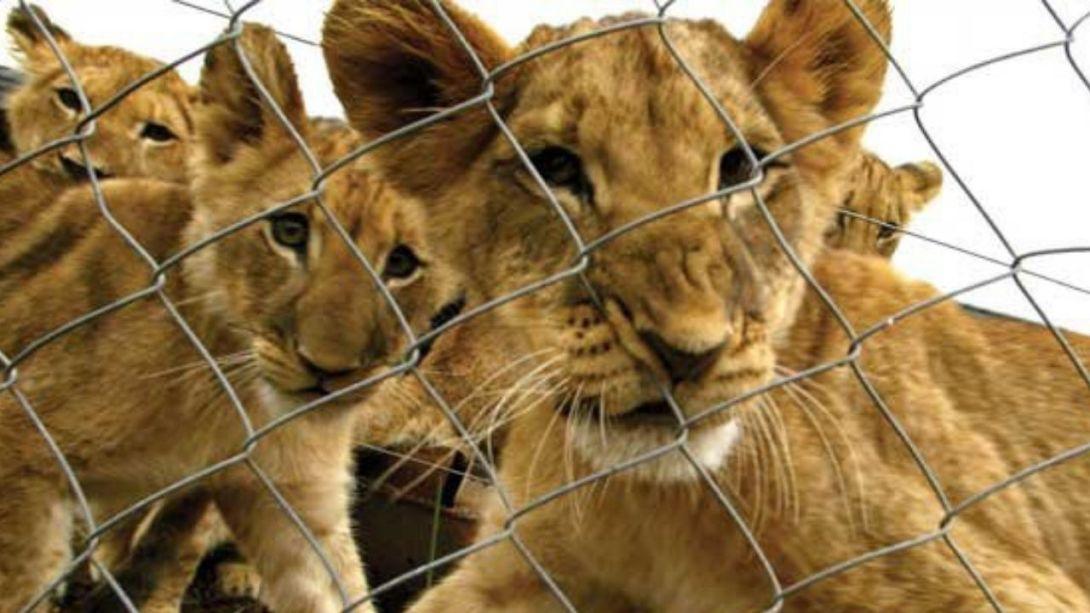 Se-escaparon-cuatro-leones-de-criadero-en-el-Edomex