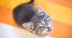 Así funciona la app que traduce los maullidos de los gatos