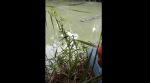 (Video) Captan a cocodrilo nadando con pierna humana en el hocico