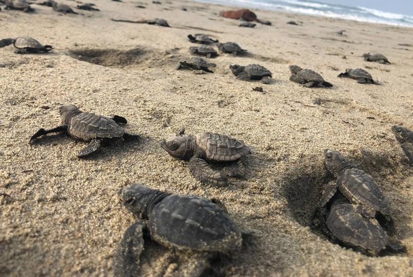 Nacen miles de tortugas que se consideraban en peligro de extinción, todo esto gracias al poco flujo de turistas en playas de Sonora.