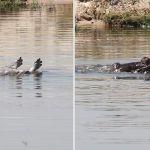 Captan a hipopótamo llorando por su cría durante 11 horas