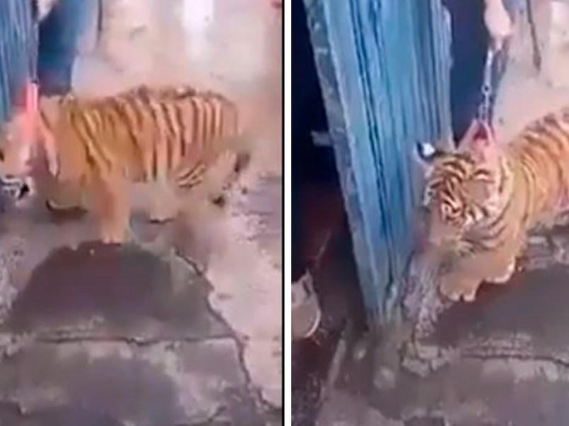 hombre-pasea-a-tigre-como-si-fuera-un-perro-en-puebla-2-160494