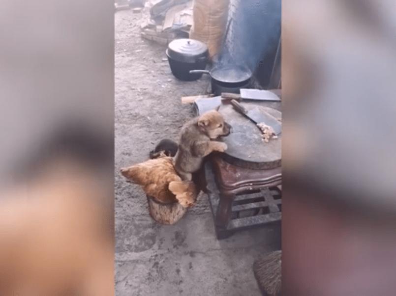 Video ll Perro y gallina se unen para hacer una travesura