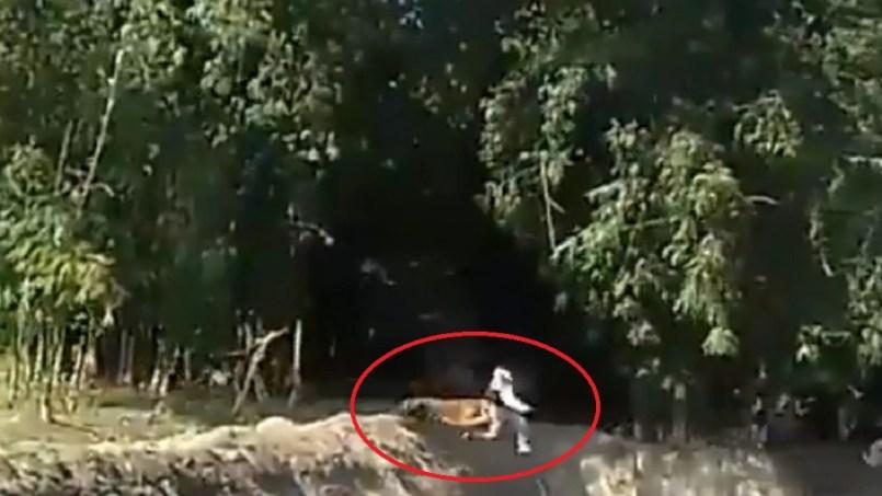 Video II Hombre en India es atacado por un tigre de bengala