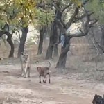 Video II Leona y perrito protagonizan enfrentamiento en India