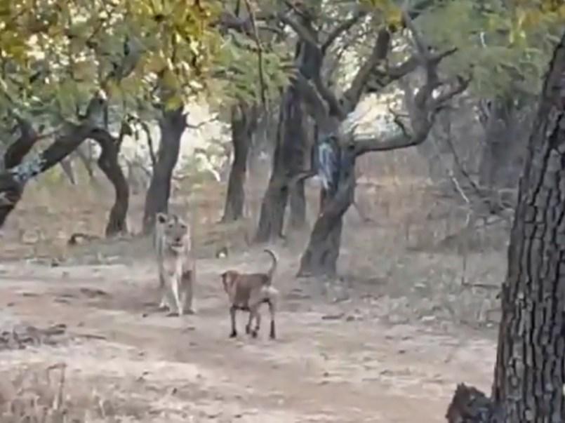 Video II Leona y perrito protagonizan enfrentamiento en India