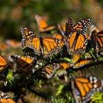 Cambio climático, cambio de uso de suelo y reducción de algodoncillos en sus lugares de reproducción, afectan el proceso de migración de las mariposas Monarca.