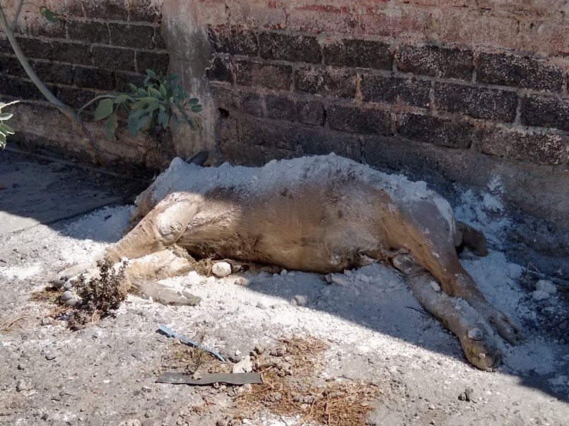 cadaver-leon-africano-alcaldía-iztapalapa