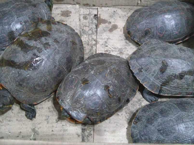 tortugas ilegales puebla animales silvestres